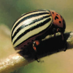Escarabajo de la patata