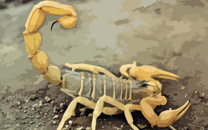 Escorpion europeo buthus europaeus